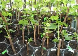 Как сохранить саженцы винограда