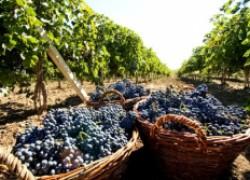 Виноград не дает урожай