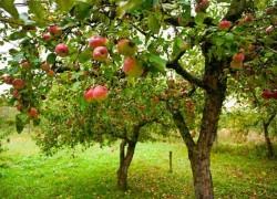 Когда начинают плодоносить фруктовые деревья