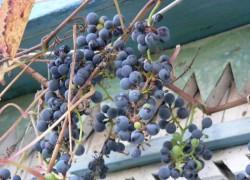 Кому нужно посадить амурский виноград