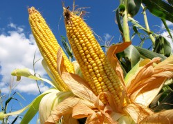 Под кукурузу готовим участок заранее