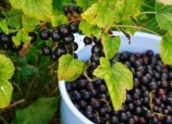 Сорта черной смородины, которые почти не болеют