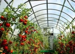 10 приемов, позволяющих уберечь помидоры от фитофторы в теплице