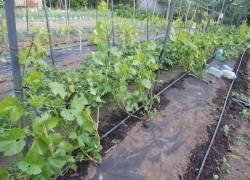 Растения − друзья винограда. Нужны ли?