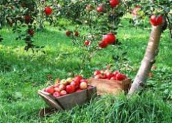 Мой опыт выращивания плодовых деревьев