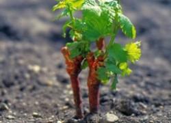 Попробуйте выращивать виноград иначе