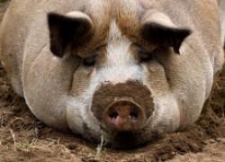 Свинка подавила поросят!