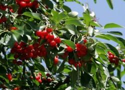 Быть или не быть в садах вишне