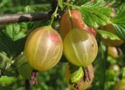 Работаем с ягодниками