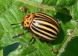Снова появился колорадский жук