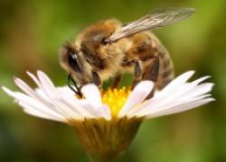 Пчёлы в саду и в поле