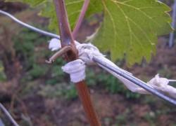 Неправильная подвязка винограда