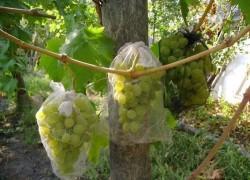 Как спасти виноградник после нашествия мышей