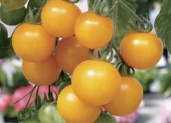 Желтая вишня на огороде