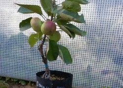 Яблони в контейнерах