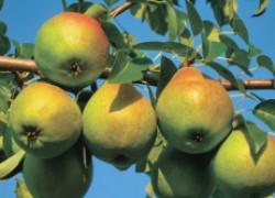 Самые урожайные сорта груши