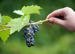 Чтобы не было горошения винограда