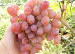 Симпатия на винограднике