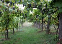 Что будет, если виноградник засеять газоном