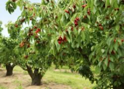 Почему черешни без плодов