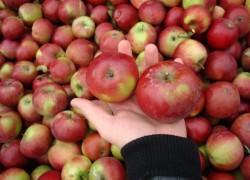 Обзор сортов белорусских яблок