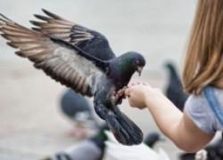 Болезнь и голуби: чем опасны контакты с птицами