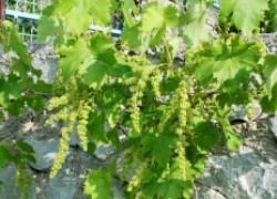 Если виноград зацвел