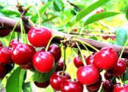 Дюки – вишне-черешневые гибриды