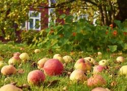Как спасти сад от плодожорки