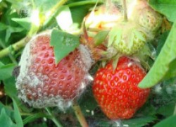 Серая гниль на землянике, или грибки, которые уничтожают наш урожай