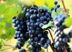 Как вовремя вычислить болезни винограда