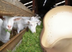 Отчего пахнет козье молоко?