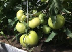 Считаю дрожжи лучшей подкормкой для помидоров