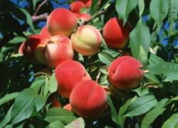 Почему персик ушел вверх
