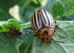 Защита баклажанов от колорадского жука