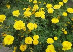 Золотая красавица