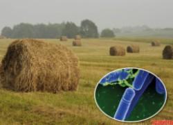 Прелая трава помогает мне бороться с фитофторой и мучнистой росой