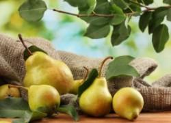 Как привить грушу. Советы начинающим