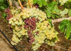 Усыхание гребней винограда
