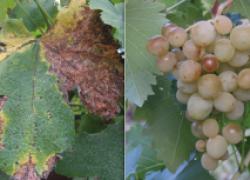 Как виноград от мильдью спасти