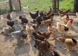 Как из курицы сделать квочку