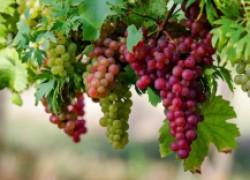 Несколько приемов для хорошего опыления винограда