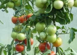 Интуиция F1  - идеальный гибрид помидоров для закруток