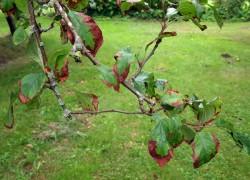 Почему на яблоне и груше краснеют листья