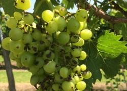 Черные пятнышки на ягодах винограда
