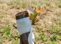 Перевод виноградника на филлоксероустойчивые подвои
