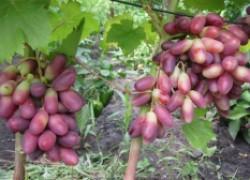 Что делать с изюминкой винограда?
