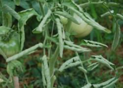 У помидоров и перцев скручиваются листья