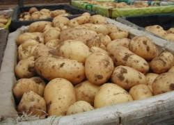 Можно ли вырастить второй картофель