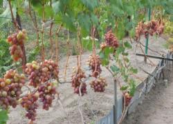 Осветление гроздей – все хорошо в меру